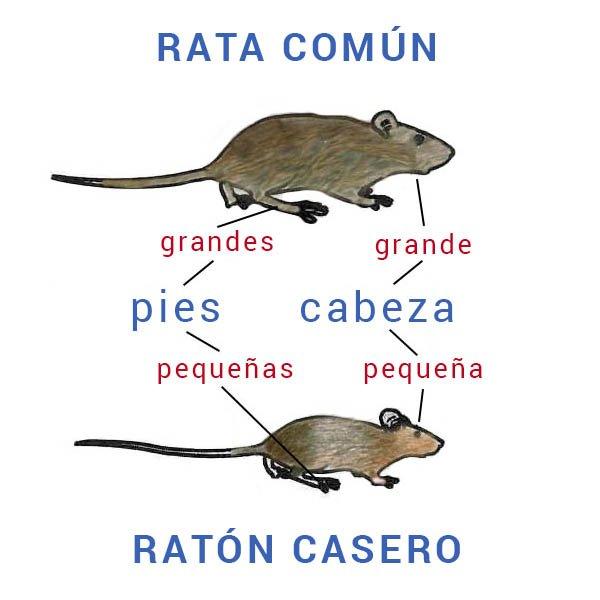 ¿Rata o ratón?