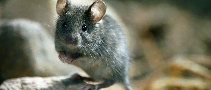 Castillo desatascos es una rata o rat n en casa castillo desatascos - Raton en casa ...